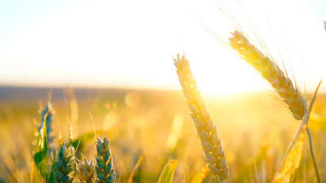 Sunlight and ripe wheat